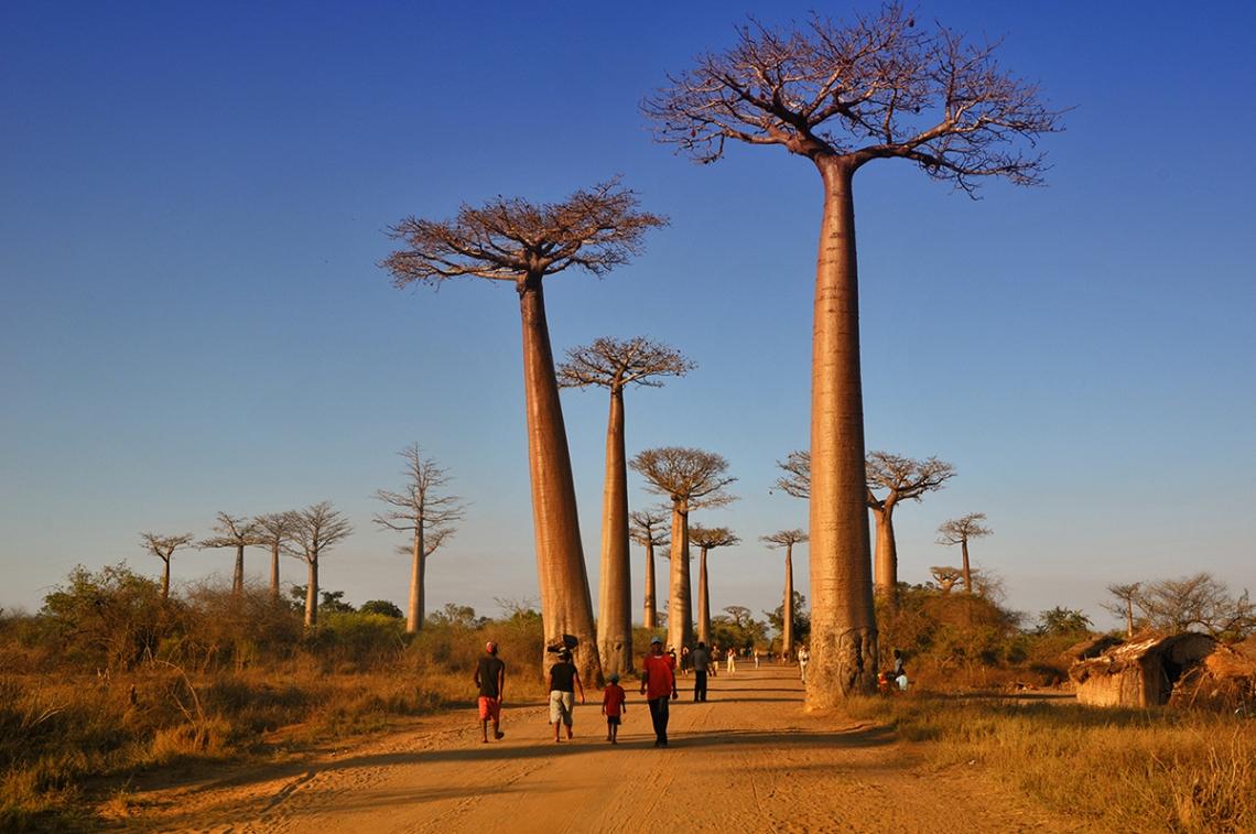 baobab-adansonia-grandidieri